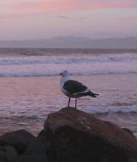 A Seagull watches sunset near Morro Rock