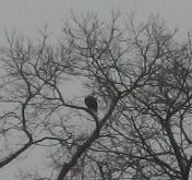 Photo of Eagle near Gary's House
