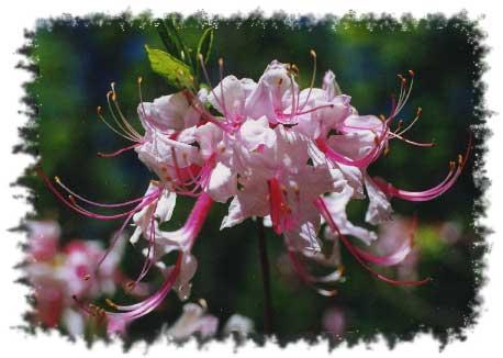 Gary kniplings list of wild flowers wild azalea photo by dee allen mightylinksfo
